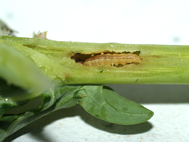 Caterpillar-in-Brocolli