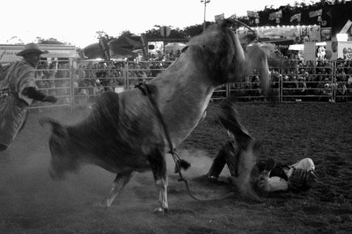 Seorang koboi berusaha menaklukkan kerbau liar dalam ajang tahunan Rodeo di Toowoomba, Queensland, Australia