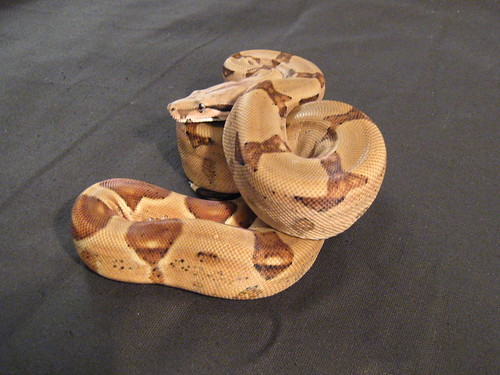 Hypo poss Jungle Boa Constrictor