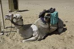 Camel Research #2