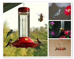 Some Favorite Hummingbird Photos