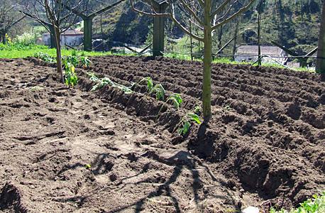 a semear batata