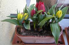 Gelbe und rote Tulpen 4