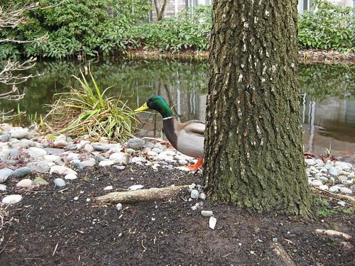 Peek-a-duck!