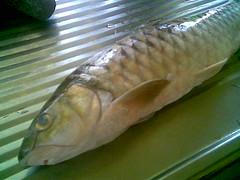 Kapit fish - semah 2
