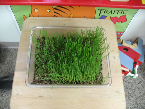 wheat grass grows!