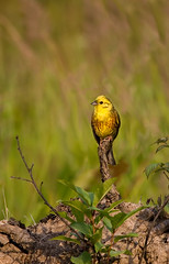 Yellowhammer | Овсянка by Anatoly Kraynikov, on Flickr
