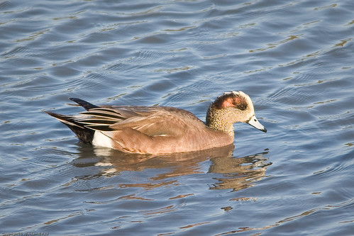 American Wigeon by you.
