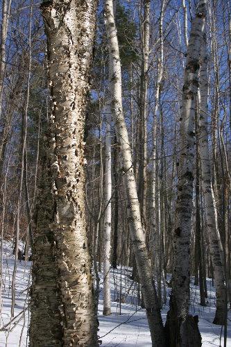 Yellow Birch and White Birch