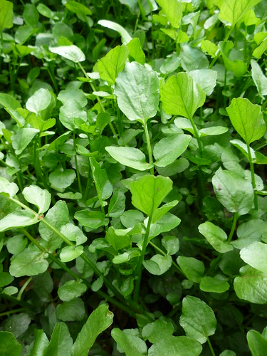 Wild Watercress