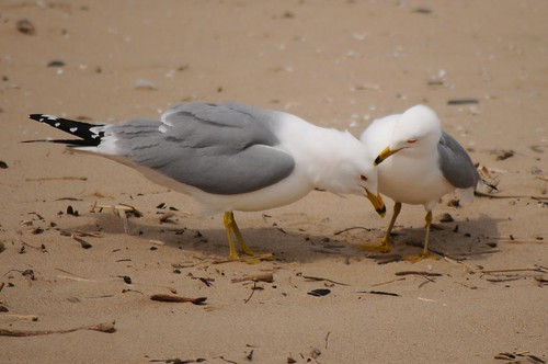 Ring-billed Gull 87