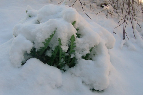 Poppy Foliage Under Snow