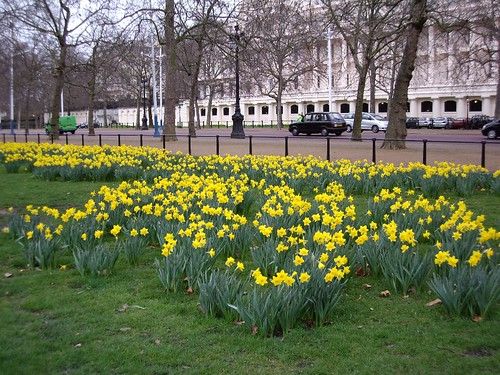 DAFFODILS IN ST. JAMES PARK, LONDON