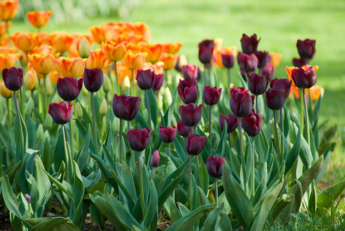 Istanbul tulip festival 2009, İstanbul lale festivali 2009, İstanbul , Pentax K10d
