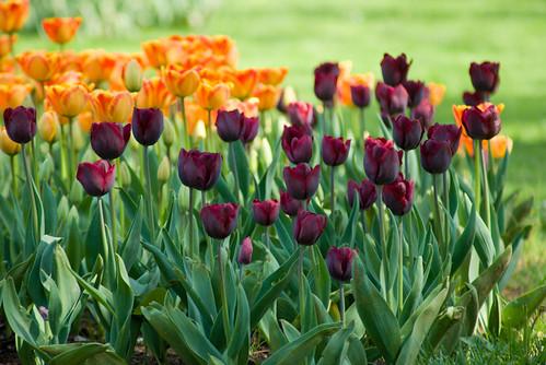 orange and purple tulips, Istanbul Tulip Festival, İstanbul, Pentax K10d