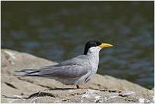 "river tern • <a style=""font-size:0.8em;"" href=""http://www.flickr.com/photos/109145777@N03/10940855006/"" target=""_blank"">View on Flickr</a>"