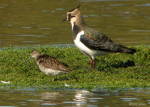 "Wood Sandpiper and Lapwing • <a style=""font-size:0.8em;"" href=""http://www.flickr.com/photos/30837261@N07/10723276674/"" target=""_blank"">View on Flickr</a>"