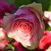 Ros i sol