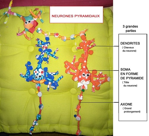Différentes parties des neurones pyramidaux.