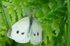 cabbage white in California