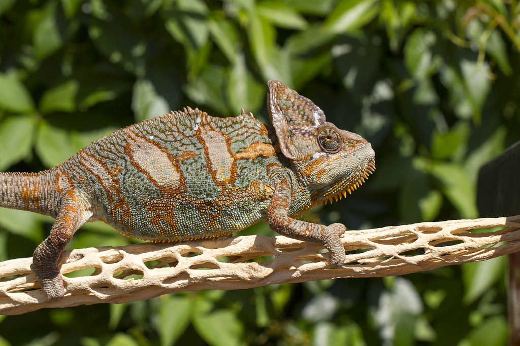 Veiled Chameleon by The Reptilarium, on Flickr