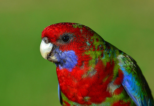 """Crimson Rosella • <a style=""""font-size:0.8em;"""" href=""""http://www.flickr.com/photos/95790921@N07/9004696918/"""" target=""""_blank"""">View on Flickr</a>"""