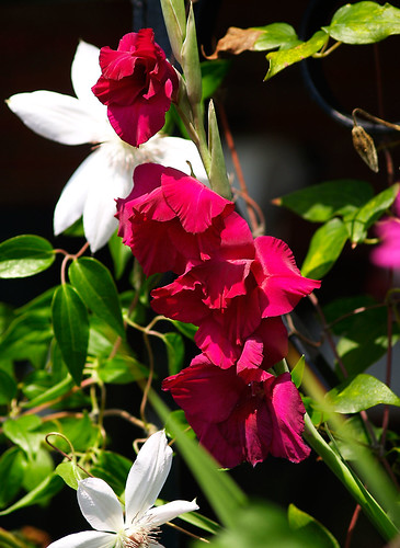 Gladiolas And Clematis