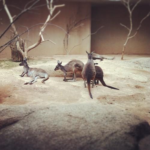 Känguru #ZOOBasel