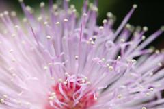 Bunga Semalu (Mimosa pudica)