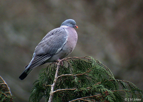 "Wood Pigeon (J H Johns) • <a style=""font-size:0.8em;"" href=""http://www.flickr.com/photos/30837261@N07/10723064166/"" target=""_blank"">View on Flickr</a>"