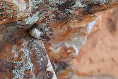 Eurasian Crag Martin | klippsvala | Ptyonoprogne rupestris