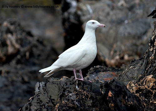 """Glaucous Gull, Falmouth, 01:03:14 (B.Heaney) • <a style=""""font-size:0.8em;"""" href=""""http://www.flickr.com/photos/30837261@N07/13851442063/"""" target=""""_blank"""">View on Flickr</a>"""