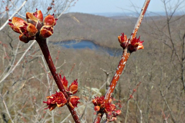 Leaf buds overlooking Bear Swamp Lake