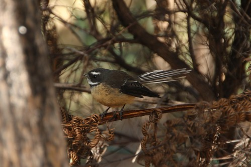 Neuseeländischer Vogel