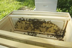 "A perfect frame of brood and honey. <a style=""margin-left:10px; font-size:0.8em;"" href=""http://www.flickr.com/photos/91024182@N04/14814366796/"" target=""_blank"">@flickr</a>"
