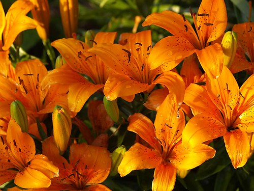 Orange Asian Lilies After Rain