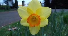 """Die Osterglocke. Die Osterglocken. Oder: Die Gelbe Narzisse. Die Gelben Narzissen. Diese Blume ist mit dem Spargel verwandt. • <a style=""""font-size:0.8em;"""" href=""""http://www.flickr.com/photos/42554185@N00/33420641622/"""" target=""""_blank"""">View on Flickr</a>"""