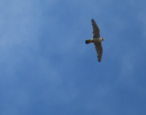 """Peregrine, St Austell, 19.07.14 (J.Wright) • <a style=""""font-size:0.8em;"""" href=""""http://www.flickr.com/photos/30837261@N07/14569818900/"""" target=""""_blank"""">View on Flickr</a>"""