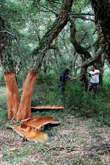 Decortica della quercia da sughero 01