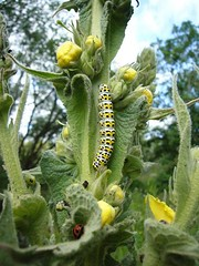 "Mullein Moth caterpillar (Miranda Robinson, summer 2014) • <a style=""font-size:0.8em;"" href=""http://www.flickr.com/photos/60890513@N06/14675181548/"" target=""_blank"">View on Flickr</a>"