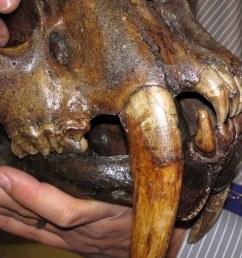 smilodon saber toothed tiger skull la brea asphalt upper pleistocene rancho la [ 1024 x 951 Pixel ]