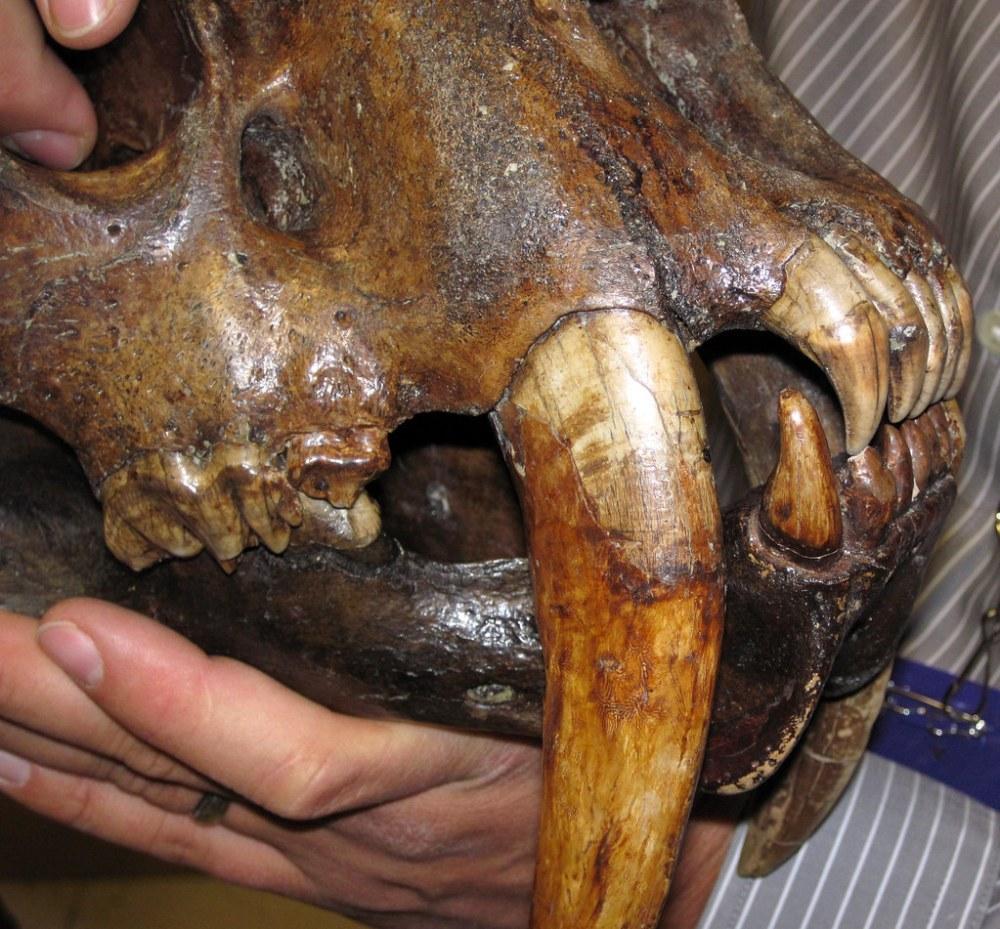 medium resolution of smilodon saber toothed tiger skull la brea asphalt upper pleistocene rancho la