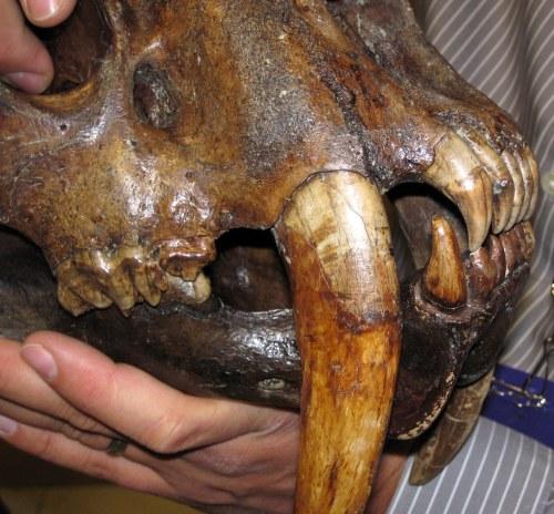 small resolution of smilodon saber toothed tiger skull la brea asphalt upper pleistocene rancho la
