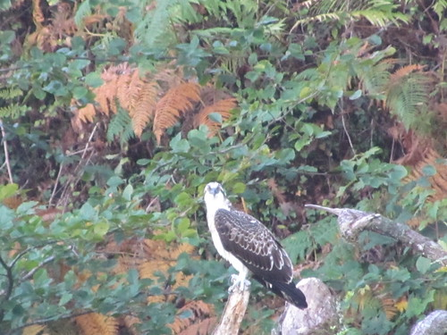 "Osprey, Helford, 08.10.14, C.Hartley • <a style=""font-size:0.8em;"" href=""http://www.flickr.com/photos/30837261@N07/15578377671/"" target=""_blank"">View on Flickr</a>"