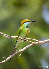 Little green bee-eater - kleine groene bijeneter 17-02-17(1)
