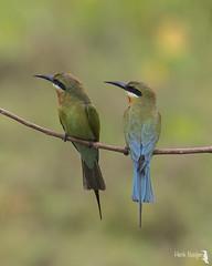 blue-tailed bee-eater - Blauwstaartbijeneter 19-02-17(2)