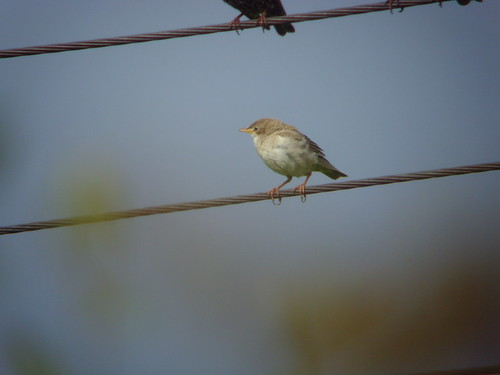 """Rose-coloured Starling, Penzance, 20.10.14 (D.Flumm) • <a style=""""font-size:0.8em;"""" href=""""http://www.flickr.com/photos/30837261@N07/15413537170/"""" target=""""_blank"""">View on Flickr</a>"""