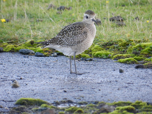 """American Golden Plover, Davidstow, 15.10.14 B.Craven • <a style=""""font-size:0.8em;"""" href=""""http://www.flickr.com/photos/30837261@N07/14960955623/"""" target=""""_blank"""">View on Flickr</a>"""