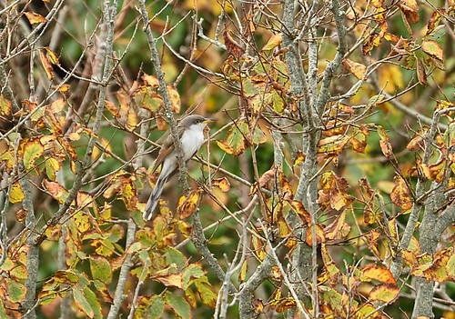 "Yellow-billed Cuckoo, Porthgwarra, 23.10.14 (S.Rogers) • <a style=""font-size:0.8em;"" href=""http://www.flickr.com/photos/30837261@N07/14993634674/"" target=""_blank"">View on Flickr</a>"