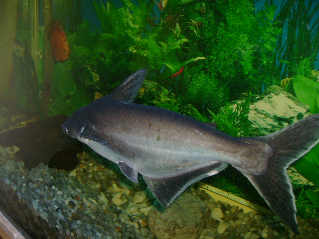 Flickr The Pangasius lovers shark catfish Pool